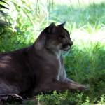 """""""Florida Panther 002"""" by rdwittle"""