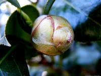 Young Camellia