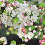 """""""Crab apple blossom"""" by julieandel"""