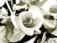 Begonia Black & White