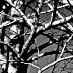 """Poplars 0659-4"" by BarbaraLin"