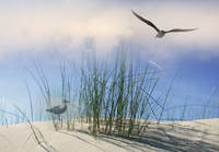 Seagulls Over Sand Dunes-2