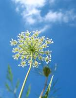 Queen Ann's Lace and Cloud