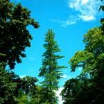"""Lone Pine Tree Rising to the sky"" by Bidonmine"