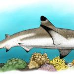 """Black-Tipped Reef Shark"" by inkart"