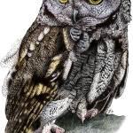 """""""Western Screech Owl"""" by inkart"""