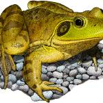 """""""American Bullfrog"""" by inkart"""