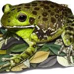 """Barking Treefrog"" by inkart"