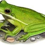 """American Green Treefrog"" by inkart"