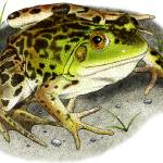 """Mink Frog"" by inkart"