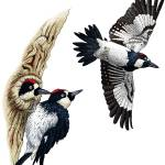 """Acorn Woodpeckers"" by inkart"