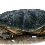 """Common Snapping Turtle"" by inkart"