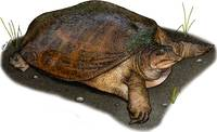 Florida Softshelled Turtle