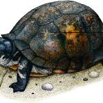 """Gulf Coast Box Turtle"" by inkart"