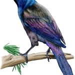 """Common Grackle"" by inkart"