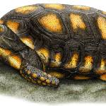 """Yellow-Footed Tortoise"" by inkart"
