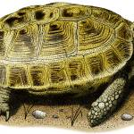 """Russian Tortoise"" by inkart"
