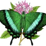 """Emerald Swallowtail Butterfly"" by inkart"