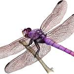 """Roseate Skimmer Dragonfly"" by inkart"