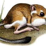 """California Kangaroo Rat"" by inkart"