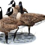 """Canada Geese"" by inkart"