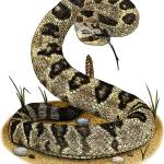 """Black-Tailed Rattlesnake"" by inkart"
