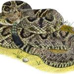 """Eastern Diamondback Rattlesnake"" by inkart"