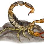 """Common California Scorpion"" by inkart"