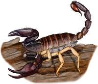 Pacific Forest Scorpion