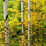"""Three Birch"" by MGPPhotography"