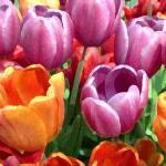 """""""Tulips in Light"""" by Mylene"""