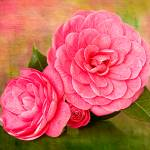 """Painterly Camellias"" by LeslieNicole"