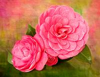 Painterly Camellias