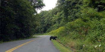 Bear Crossing 4603C