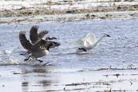 Tundra Swan With Geese
