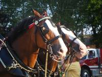 Budwiser Clydesdale Horses