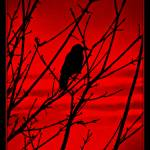 """""""Crow of the red stripes"""" by CalamityJan08"""