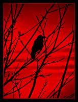 Crow of the red stripes