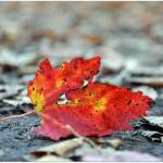 """The Fallen Leaf"" by anneshka"