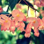 """Hanging begonia"" by anneshka"