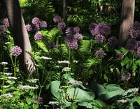The Allium Garden