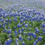 """Texas Blue Bonnets"" by GlendinePhotography"
