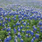 """Texas Blue Bonnets"" by GlendinePhotography"