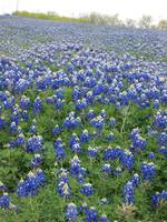 Blue Bonnets In Spring