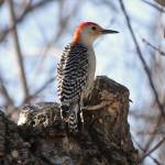"""Red-bellied Woodpecker"" by cameragal"