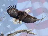Bald Eagle- American pride with flag