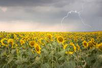 Storm over sunflower field