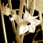 """""""Little White Star Flowers"""" by dahlquaa"""