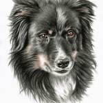 """Border Collie Dooley"" by ArtsandDogs"