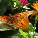 """Gulf Fritillary Butterfly"" by janetharper"